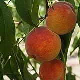 Pfirsichbaum `Benedicte´, robuste Sorte, weißfleischig, ca. 120cm, im Topf