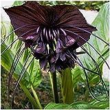 PLAT FIRM GERMINATIONSAMEN: Bat Blume Verwurzelt Pflanze 10 Samen Schwarze Fledermaus Blume Bat...