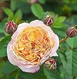 100 Stück Kletterrosen, bunt, für Garten, Haus, Balkon, Zäune, Hof, Dekoration Blumen, Pflanzen -...