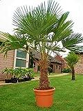 Seltene Palmen Kreuzung Trachycarpus Fortunei/Wagnerianus bis 130 cm. Frosthart bis - 18 Grad...
