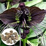 SONIRY Samen-Paket: 10 Stück Rare Schwarz Bat Fledermausblume Whiskers Blumensamen Garten Samen...