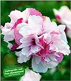 BALDUR-Garten Freiland-Hibiskus'French Cabaret' Pastel, 1 Pflanze Hibiscus gefllte Blten winterhart