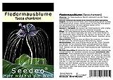Seedeo Fledermausblume (Tacca chantrieri) 15 Samen