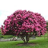 SummerRio Garten-10 Stück Sakura Samen Baum Samen Riesen Rosa Sträucher Mehrjährige Blühende...