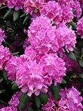 Alpenrose Rhododendron Roseum Elegans 50 cm hoch mit Ballen