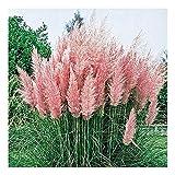 10 x Cortaderia selloana Rosea' 1 Liter (Ziergras/Grser/Stauden) Pampasgras ab 3,19  pro Stck