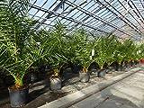 SONDERPREIS: Palme 110-130 cm, Phoenix canariensis, kanarische Dattelpalme, krftige Palmen, keine...