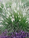 10 x Pennisetum alopecuroides 1 Liter (Ziergras/Grser/Stauden) Lampenputzergras ab 3,19 pro Stck