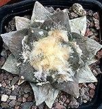 Ferry 5 Ariocarpus fissuratus X retusus HYBRID IB37 Samen Korn semillas Rare
