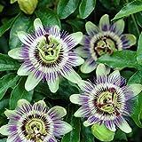 Passionsblume (Passiflora caerulea) - Kletterpflanze, Winterhart & Immergrün - 1,5 Liter Topf |...