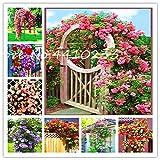 TOMHY 50 PC Exotische Thailand Kletterrose Bonsai Blumen Beautyful Seltene Multicolor Rose Bonsai...