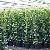 6 Efeu 140-175 cm (Hedera Hibernica): 6 kaufen/ 4 bezahlen - 6 immergrüne Kletterpflanzen für eine...