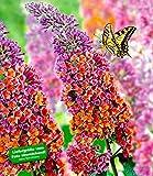 BALDUR-Garten Buddleia Sommerflieder 'Flower-Power' Schmetterlingsflieder Schmetterlingsstrauch...