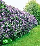 BALDUR-Garten Flieder-Hecke, 6 Pflanzen Edelflieder Fliedertraum Blten-Hecke Syringa vulgaris