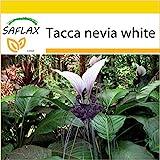 SAFLAX - Anzucht Set - Nepalesische Riesen - Fledermausblume - 10 Samen - Mit Mini-Gewchshaus,...