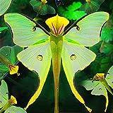 Tomasa Samenhaus- 100 stcke Phalaenopsis Orchidee Samen Bonsai Seltene Orchidee Blumensamen...