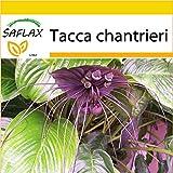 SAFLAX - Anzucht Set - Fledermausblume - 10 Samen - Tacca chantrieri