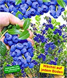 BALDUR-Garten Trauben-Heidelbeere 'Reka Blue' Blaubeeren Heidelbeeren Pflanze, 1 Pflanze Vaccinium...