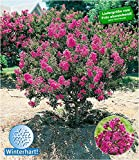 BALDUR-Garten Flieder des Sdens, 1 Pflanze Lagerstroemia indica Kreppmyrte winterhart