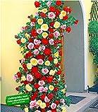 BALDUR-Garten Kletterrosen rot, rosa und gelb Kletterpflanzen Rose winterhart, 3 Pflanzen