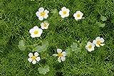 4er-Set im Gratis-Pflanzkorb - Klärpflanze! - Ranunculus aquatilis - Wasserhahnenfuß, weiß-...