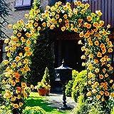 ASHENGTAI 100 Stück Kletterrose Samen Kletterpflanze schnellwachsend Rose Samen Bunte Blumensamen...
