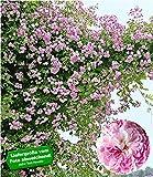 BALDUR-Garten Rambler-Rosen 'Paul's Himalayan Musk Rambler', 1 Pflanze Kletterrose winterhart...