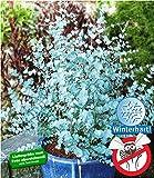 BALDUR-Garten Winterharter Eukalyptus 'Azura' Blaugummibaum, 1 Pflanze Eucalyptus gunni echter...